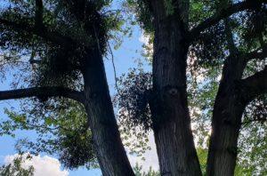 Misteln am Baum