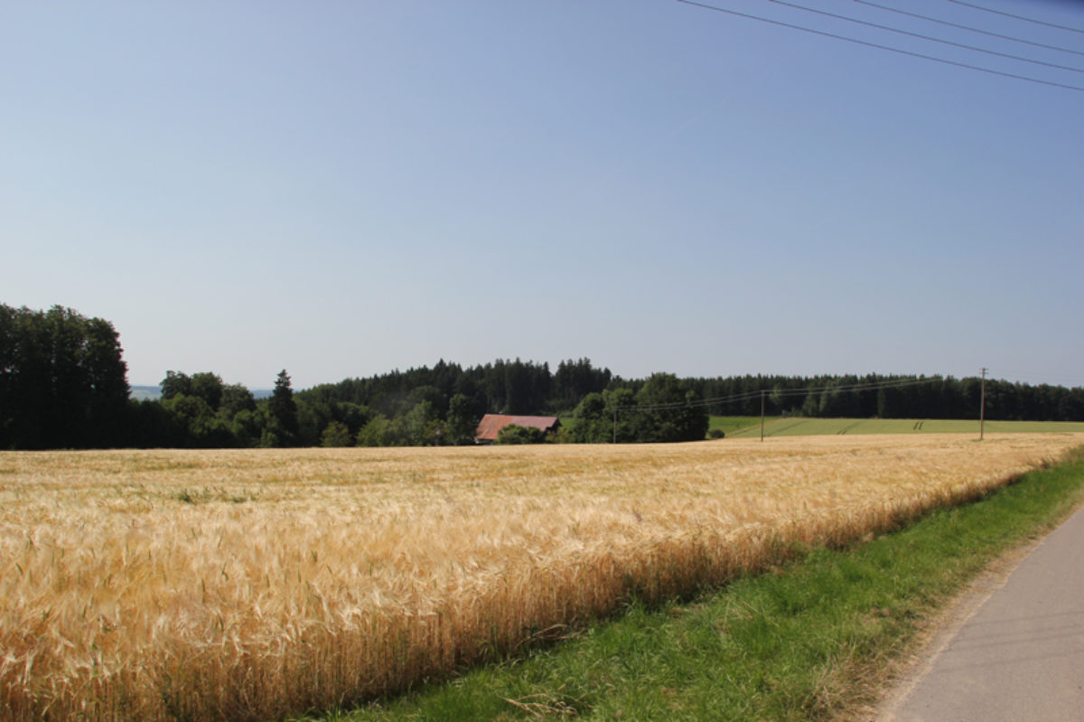 Getreidefeld Scharben